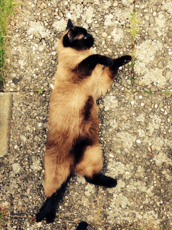 Sylvias Katze 1